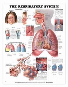 Respiratory System Anatomy Poster