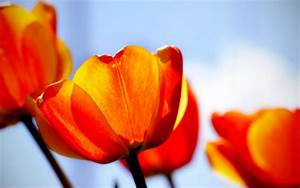 Tulips, Wallpapers