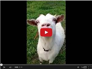 Watch This Crazy Goat Give A Tongue Lashing     U2013 The Horseaholic