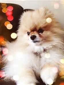Pomeranian Cutest Dog Breed Ever