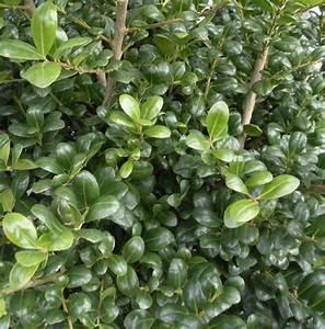 Ilex Crenata Krankheiten : view plant great plant picks ~ Orissabook.com Haus und Dekorationen