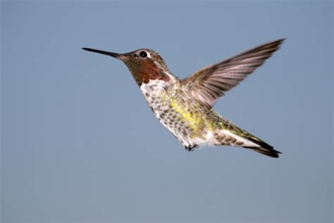 Annas Hummingbird Stock Photo - Download Image Now - iStock