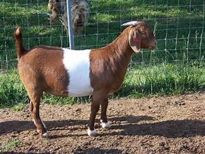 Red Boer Goats at Triple Holler Boer Goats
