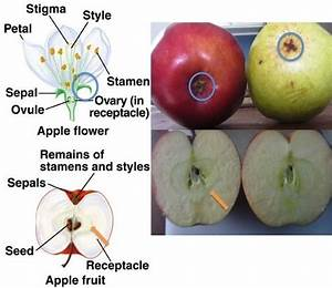 Apple Development  From Flower To Fruit  Blue Circle Around Sepal And Persistent Calyx On Apple