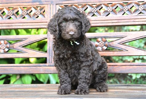 foto de Available Puppies Lone Star LabradoodlesLone Star