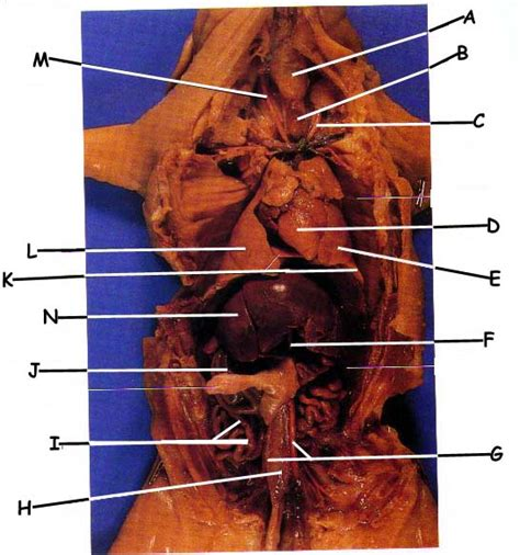 Internal Anatomy Of The Fetal Pig Exam
