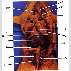 Internal Anatomy Of The Fetal Pig Exam  Biology Junction