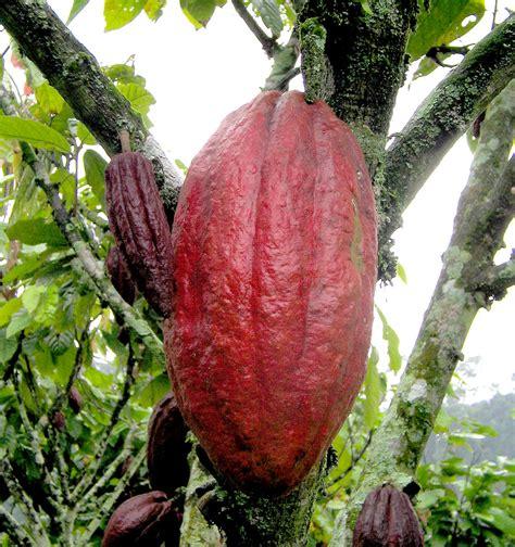 chocolate plants cocoa