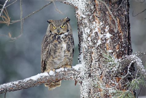 Shower Curtains Canada Online by Great Horned Owl In Winter Photograph By Tim Fitzharris