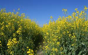 Canola as Cover Crop