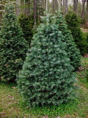 concolor smell like oranges christmas trees delaware tree growers association firs spruces and pines