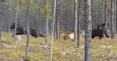 terrifying footage shows huge ft wolf chasing  dog