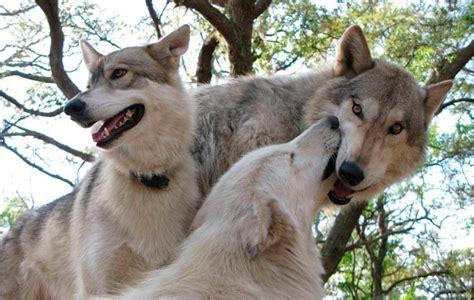 diferencias entre lobos  perros
