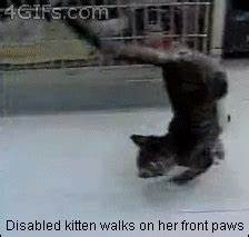 Cat with no front legs can still jump : gifs
