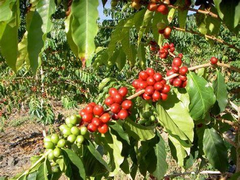 Kona coffee tree with ripe coffee   Picture of Hula Daddy Kona Coffee, Holualoa   TripAdvisor