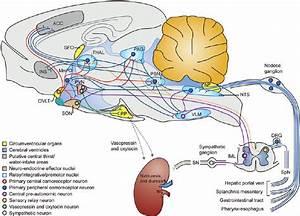 Osmoregulatory Circuits In The Mammalian Brain And The