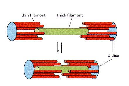 The Sliding Filament Theory Of Muscle Contraction  The A. Types Of Crowns For Teeth Human Stock Photos. Bad Credit Start Up Business Loans. Masters In Deaf Education Lipitor Joint Pain. Best Web Hosting And Design John C Lincoln. Critical Care Paramedic Course Online. Town & Country Dealerships How French Are You. Chimney Repair Portland Or Santa Cruz Movers. Accounting Degree Careers Welded Steel Carts