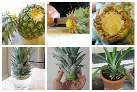 how to grow pineapple in a plant pot