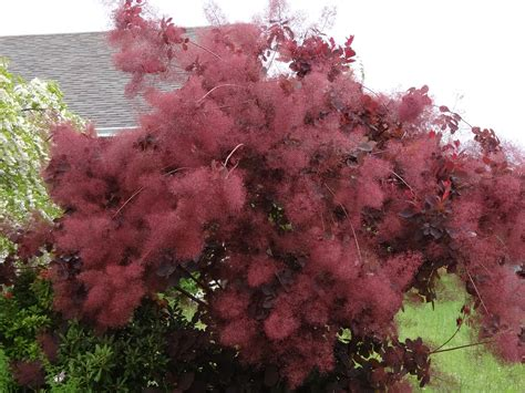 smoke tree smokebush cotinus coggygria careann s musings