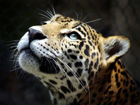 Leopard Animal Wallpaper - wallpapers leopard wallpaper cave