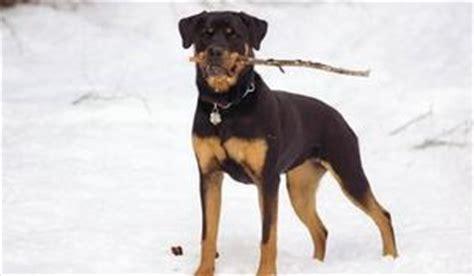 empecher un chien de monter sur le canapé rottweiler chien de race standard identité