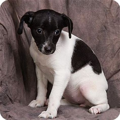 stop rat terrier shedding rat terrier dachshund mix puppy for adoption in