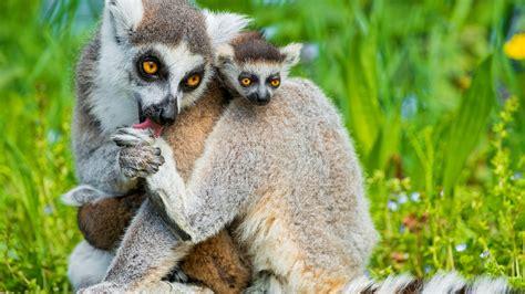 animals cute lemurs lemur summer wallpapers wild zoo winter funny sleep related 4k panda wallpapershome 2k fhd
