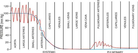 Essay On Pulmonary Circulation by Order Essay Cheap The Human Circulatory System