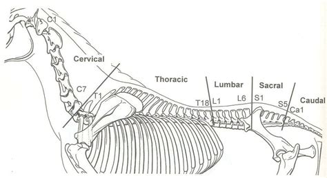 horse vertebral column diagram