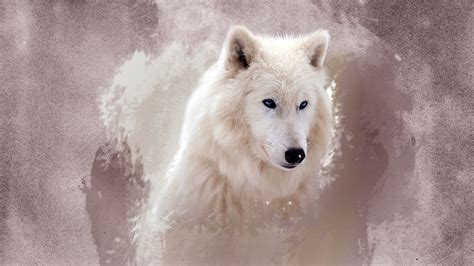 hd wallpaper amazing white wolf blue