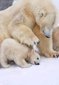 Baby Polar Bear Cub and Mother