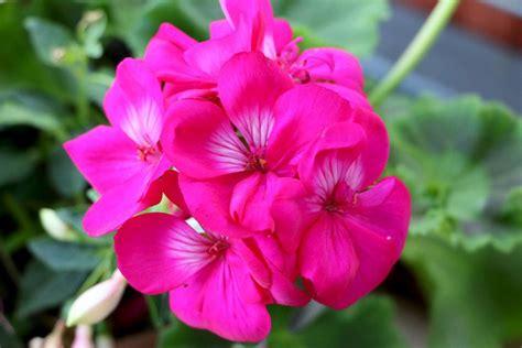 Geranien überwintern Im Blumenkasten by Geranien 252 Berwintern 5 Varianten Trocken Ohne Erde Im