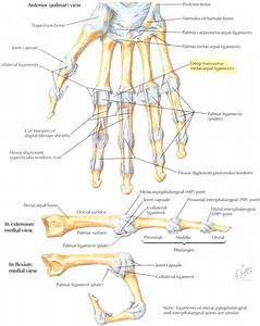 Bones And Ligaments Of The Fingers