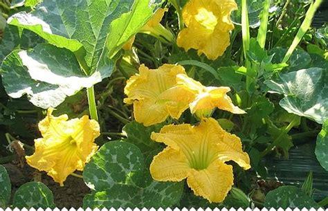 creer une cuisine citrouille potiron semer planter entretenir et