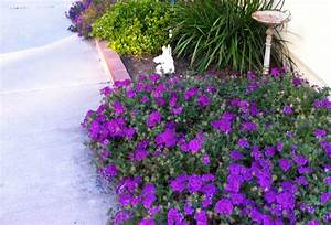 purple verbena ground cover   Eden Makers Blog by Shirley ...