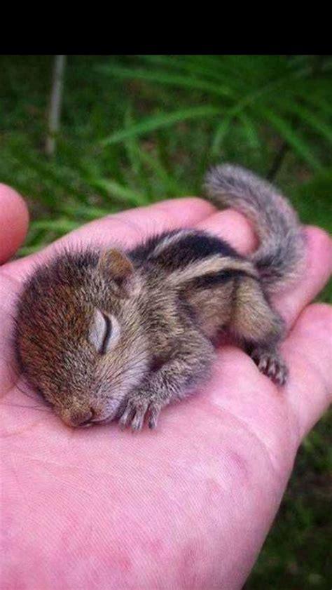 Baby Chipmunk Cute Animal Pics Pinterest