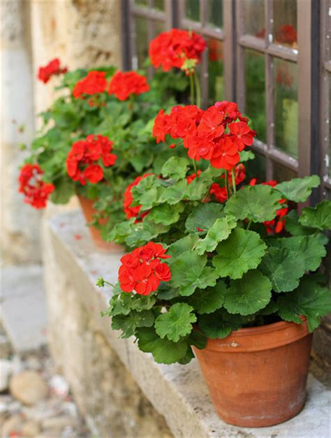 planting geraniums in pots container grown geraniums garden harvest supply