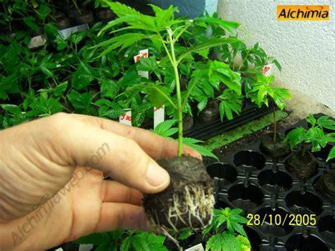 engrais pour cannabis en pot la bouture de cannabis du growshop alchimia