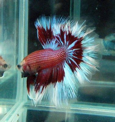 Lava L Fish Tank Walmart by 1000 Images About Bet It S A Betta Fish On