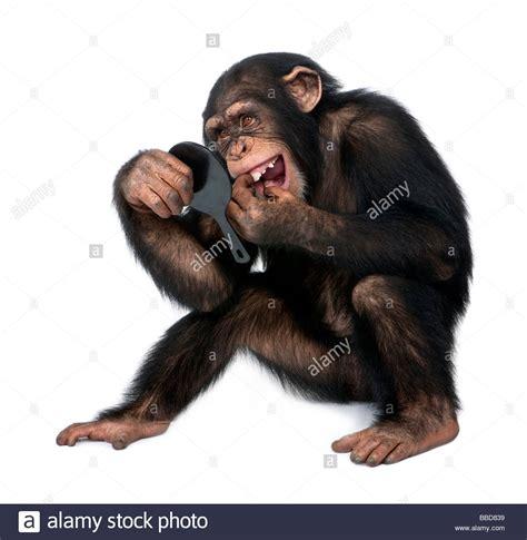 laughing chimpanzee stock laughing chimpanzee stock alamy