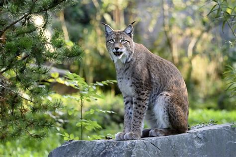 lynx, Animals, Wallpapers Wallpapers HD / Desktop and Mobile Backgrounds