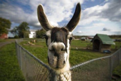 Wonderful Llama Photo by 70 Best Llama Images On Llama