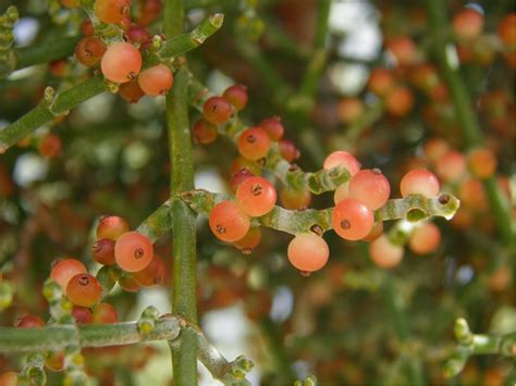 what color are mistletoe berries mistletoe berries