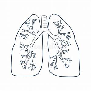 Anatomical Lungs Isolated On White  Stock Vector