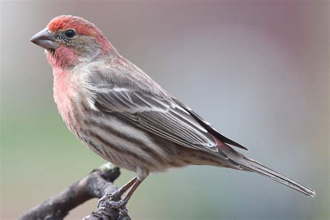 House Finch   Carpodacus mexicanus