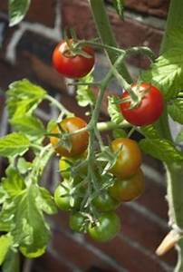 Dünger Für Tomaten : d nger frag mutti ~ Watch28wear.com Haus und Dekorationen