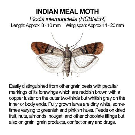 meal moths indian larvae albuquerque pantry found usda pest control rancho rio insects