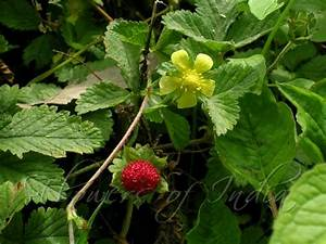 """Are """"wild strawberry"""" weeds related to actual strawberries ..."""