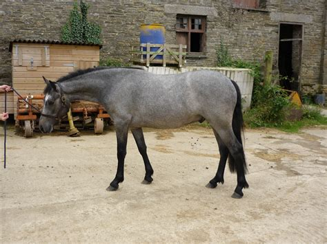 connemara pony ponies rinsey