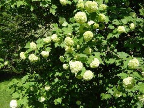 schneeball pflanze schneiden gew 246 hnlicher schneeball viburnum opulus pflanzen enzyklop 228 die